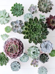 Verschiedene Echeverien-Arten, Pflanzenfreude