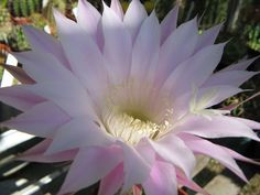 Echinopsis schelhasei v rosea