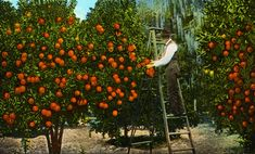 My fondest memory of Florida's citrus legacy comes from my teenage years in the 1990s. We would drive through abandoned groves between Ocala and Orlando, windows opened, grabbing oranges as we drove by, filling the backseat. Those overgrown groves, even then, were a testament to the difficulties of growing oranges, left fallow because of the periodic freezes that cut into profits and the onset of citrus greening that destroys trees entirely.