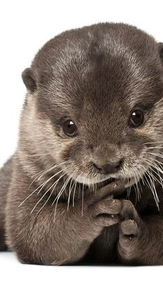 I have such a soft spot for otters. I think it's becuse the remind me so much of… I have such a soft spot for otters. I think it's becuse the remind me so much of dogs! Cute Baby Animals, Animals And Pets, Funny Animals, Wild Animals, Nature Animals, Otter Love, Baby Otters, Otters Cute, Tier Fotos
