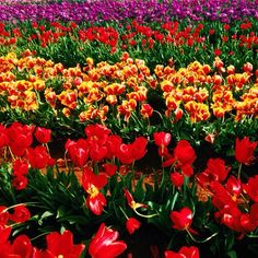 missing the tulip farms already!