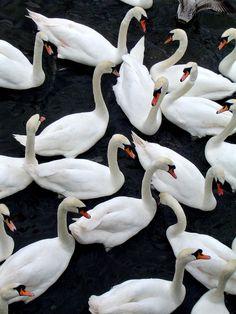 Swans I by ~InsanityAleksiel