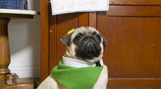 If Christmas Couldn't Get Any Better, Here's Pugs Reenacting The Movie 'Elf'