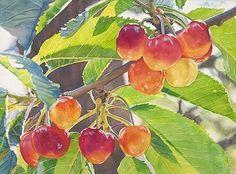 """Queen Anne Cherries"" watercolor fruit painting by artist Cara Brown. Watercolor Fruit, Fruit Painting, Watercolor And Ink, Watercolor Flowers, Watercolor Paintings, Watercolors, Art Paintings, Watercolor Sketchbook, Wow Art"