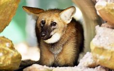 An 11-month-old maned wolf cub settles into his new home at Crocodylus Park in Darwin, Australia. Native to the South American tropical grasslands, there are throught to be less that 2,500 left in the world.