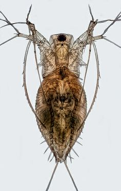 Water Flea