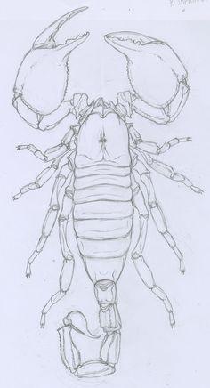 Emperor Scorpion by Kruggar Animal Sketches, Animal Drawings, Pencil Drawings, Art Drawings, Tattoo Sketches, Art Sketches, Scorpio Art, Traditional Tattoo Old School, Hand Art