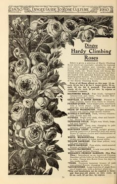 Dingee guide to rose culture : 1850 1910