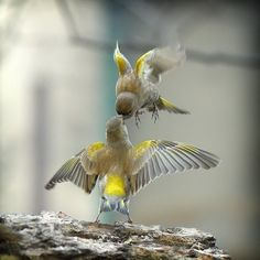 birds ~V~