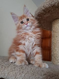 one dreamy Maine Coon baby