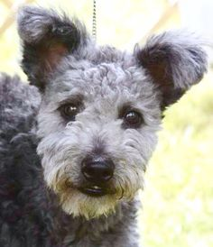 """The Pumi's coat is a combination of wavy and curly hair, forming corkscrews or curls all over the body, and is never smooth or corded. The coat consists of an even mixture of harsh hair and softer undercoat . It stands out from the body approximately 1½"""" to 3"""" and is prepared using a combination of stripping and trimming. The eyes and the foreface are free of long hair."""