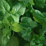 Μελισσοχορτο, βοτανο με αρωμα λεμονιου Parsley, Herbs, Herb
