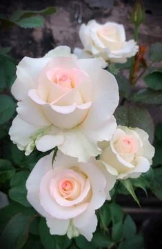 Exotic Plants, Exotic Flowers, Love Flowers, Pretty Roses, Beautiful Roses, English Garden Design, Beautiful Flowers Wallpapers, Flower Phone Wallpaper, Floral Backdrop