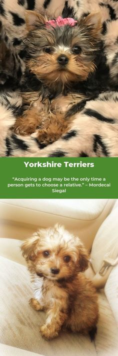 Yorkshire Terriers #yorkshireterrierstagram #yorkshireterrierz