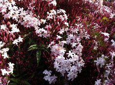 pink jasmine vine--smells heavenly sweet, blooms in the spring