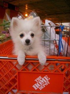 baby Hercules  WHITE POMERANIAN #Pomeranian #HerculesPomeranian #Hercules #WhitePomeranian