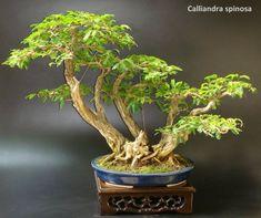 Charles White bonsai - 1