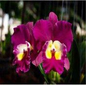 Site to sell your orchid plants Cattleya Orchid, Orchid Plants, Gardening, Rose, Flowers, Photos, Things To Sell, Pink, Pictures