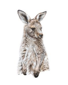 Eastern Grey Kangaroo Joey pencil & acrylic- wildlife nature art- print of drawing 5 x 7