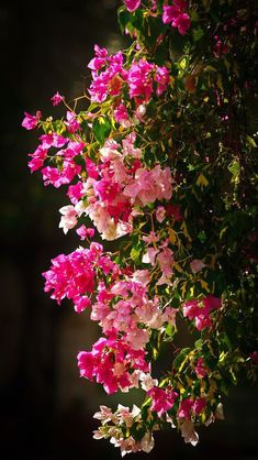 Bougainvilliers by Eric Charles on Flora Flowers, Beautiful Bouquet Of Flowers, Flowers Nature, Exotic Flowers, Amazing Flowers, Pretty Flowers, Pink Flowers, Colorful Flowers, Beautiful Flowers Wallpapers