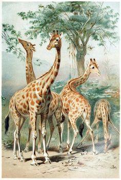 Giraffe 'Brehms Tierleben'(Brehm's animal life) v.3, Alfred Edmund Brehm, Leipzig, Vienna, 1893