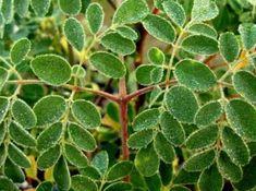 The Many Uses of the Mighty Moringa Tree - Fresh Moringa Miracle Tree, Moringa Leaves, Fast Growing Trees, Natural Antibiotics, Tree Seeds, Medicinal Plants, Natural Remedies, Planting Flowers, Plant Leaves