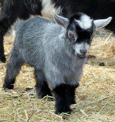 So cute! Agouti Colored Pygmy Goat Kid Doe.  www.TheBigWRanch.com