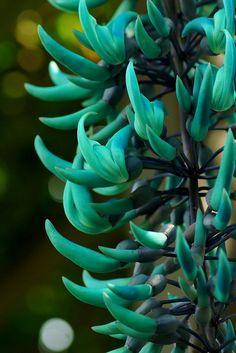 jade vine Flor de Jade, é uma trapadeira que da esses cachos de flores cor de Jade! Umas das plantas mais lindas do mundo eu ja tive o prazer de ver pessoamente. Simplismente linda!