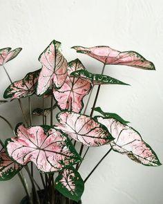 Plants - Pink Caladium ✨💗 🌱 🌿 botanical caladium flauntyourleaves foliage greenery greenhousehunter greenthumb houseplants… - One Foliage Plants, Potted Plants, Garden Plants, Garden Art, Terrarium Plants, Porch Plants, Nature Plants, Shade Plants, Garden Ideas