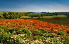 Field of Wildflowers Wallpaper   Field of wildflowers - nice, nature, poppies, grass, green, greenery ...