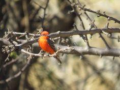 Little red #bird #birdphotography