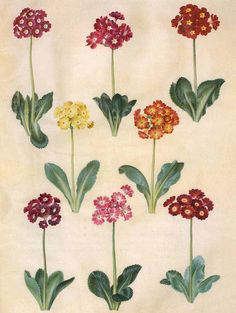 Gottorfer Codex, vol. gouache on parchment by Hans Simon Holtzbecker, Primula auricula, - Statens Museum for Kunst, National Gallery of Denmark Vintage Illustration Art, Illustration Blume, Floral Illustrations, Vintage Botanical Prints, Botanical Drawings, Botanical Flowers, Botanical Art, Colorful Flowers, Beautiful Flowers