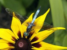 How to Attract Dragonflies  Read more at Gardening Know How: Tips For Attracting Dragonflies – What Plants Attract Dragonflies To Gardens http://www.gardeningknowhow.com/garden-how-to/beneficial/attracting-dragonflies.htm