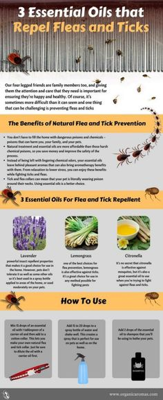 3 Essential Oils that Repel Fleas and Ticks - repelling fleas and ticks with the help of some essential oils and a bit of effort is something that makes sense and that should be your first choice when you& trying to do this. Essential Oils For Fleas, Essential Oil Blends, Tick Repellent Essential Oils, Pure Essential, Young Living Oils, Young Living Essential Oils, Tick Repellent For Dogs, Insect Repellent, Flea And Tick Spray