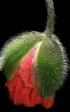 Macro Flower, Flower Art, Beautiful Photos Of Nature, Beautiful Flowers, Art Floral, Art Painting Gallery, Blue Poppy, Garden Trees, Exotic Flowers