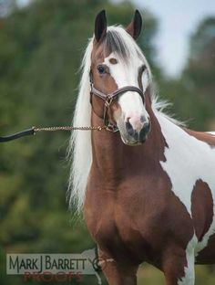 Athena | Gypsy Vanner Filly for Sale | Skewbald