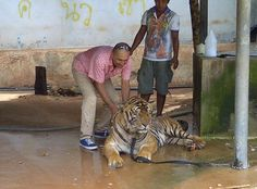 Rajan giving the tigers at Kanchanaburi Tiger Temple in Thailand a bath. Animal conservation or exploitation? Story coming soon on BBC Fast Track