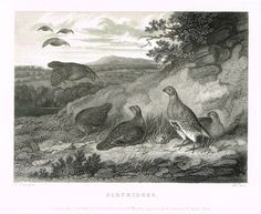 "Ackermann's Sporting Magazine - Birds & Hunting - ""PARTRIDGES"" - Steel Engraving - c1838"