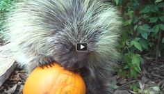 """Teddy Bear"" the talking porcupine loves pumpkin. So cute. you must watch all his videos. too cute!"