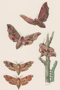 1957 Eyed HawkMoth Antique Print Insects Entomology by Craftissimo, €13.95