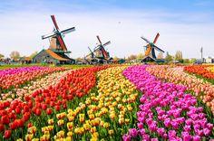 Campos de flores em Amsterdã
