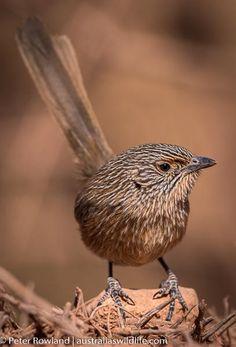 Wrens, Emu, Birds, Animals, Animales, Animaux, Bird, Animal, Animais
