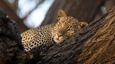 Joy´s Camp - Leopard