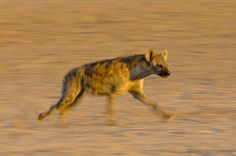 A spotted hyena on the go!