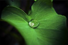 Dandelion Reflection in Drop of Water • Gaderinge