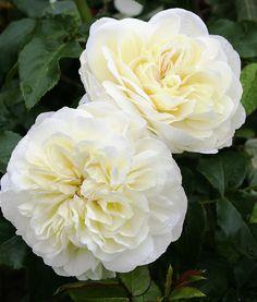 'Lady Romantica' | Floribunda rose. Meilland International (France, before 2010).