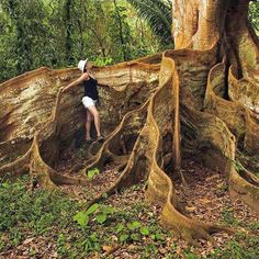 Amazing tree in Costa Rica  ---------------  Some of the old tropical trees have trunks like flying buttresses for strength.  The flying buttresses of this tree extend to the sides in swirls.