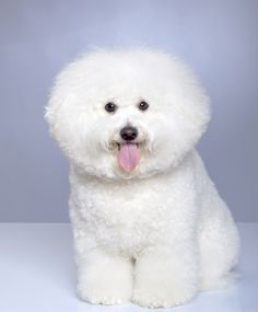 I wish our Bichon Frise was this fluffy!