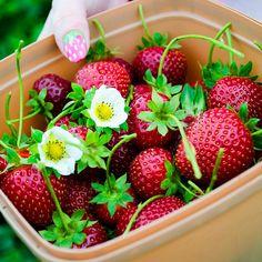 jimmyamerica:  #strawberries #nofilter #melbourne #violetlebeaux