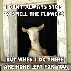 Fearless superseded goat farming basics Email a friend; Farm Animals, Animals And Pets, Animal Pictures, Funny Pictures, Happy Goat, Cute Goats, Funny Goats, Nigerian Dwarf Goats, Raising Goats